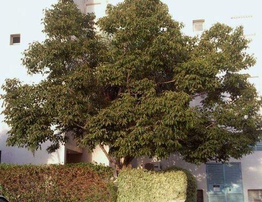 הובניה מתוקה, עץ הצימוקים היפני