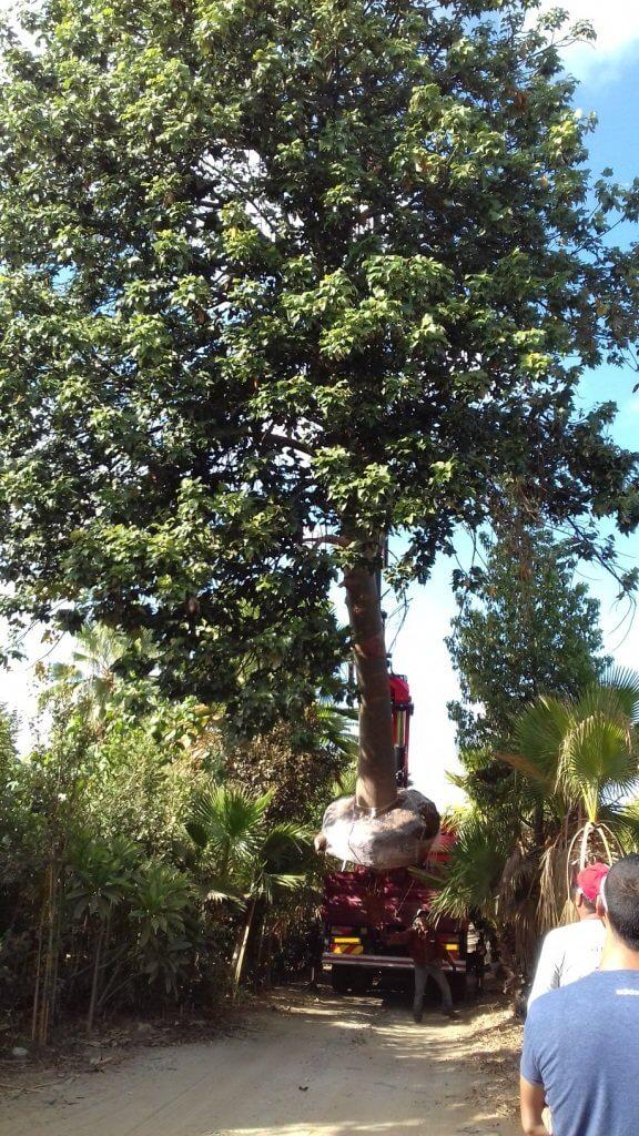 מומחים בהעתקת עצי ענק