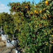 תפוז סיני (קומקוואט)